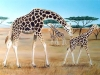Giraffe Serengeti Mural - Muralist Carolee Merrill